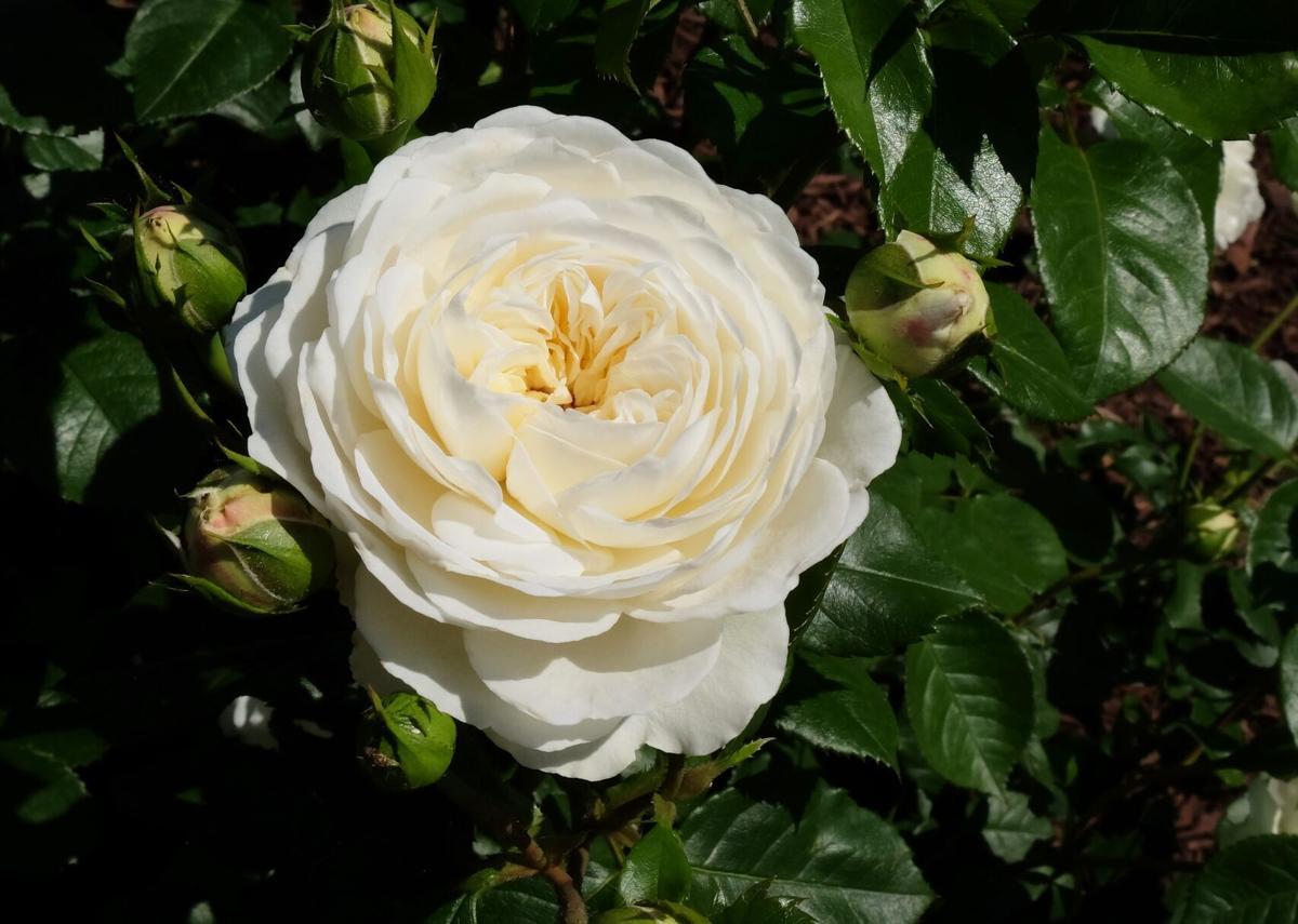 Omaha Rose Society