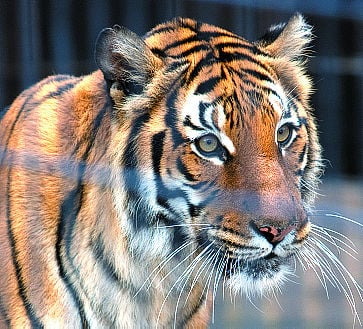 Mai the zoo tiger