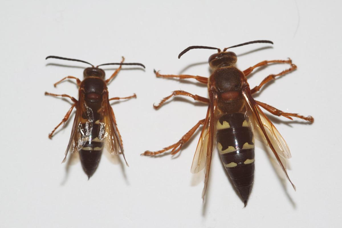 8 things you need to know about the giant wasps invading your yard ...