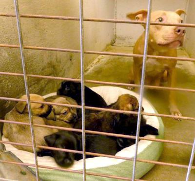 4fd52db7c22 Nebraska rescue helping to save pit bull and her 7 puppies from ...
