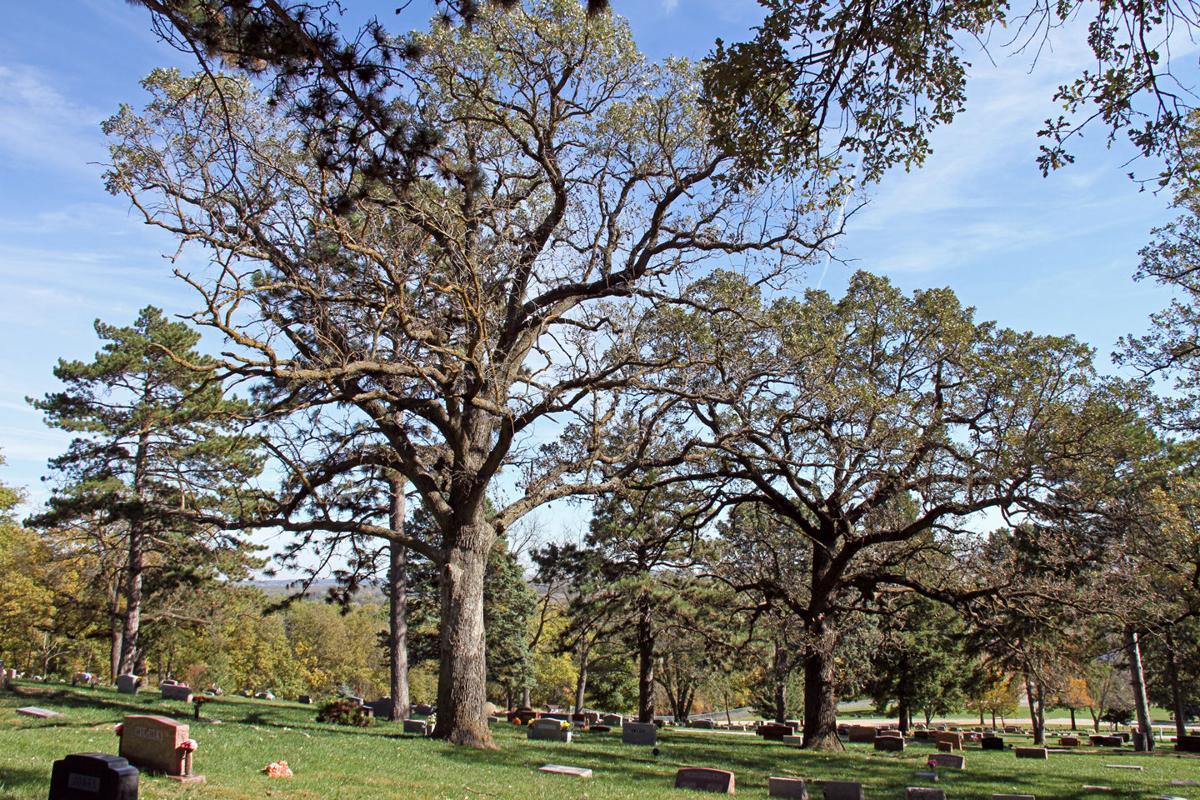 Disease strikes stately oaks