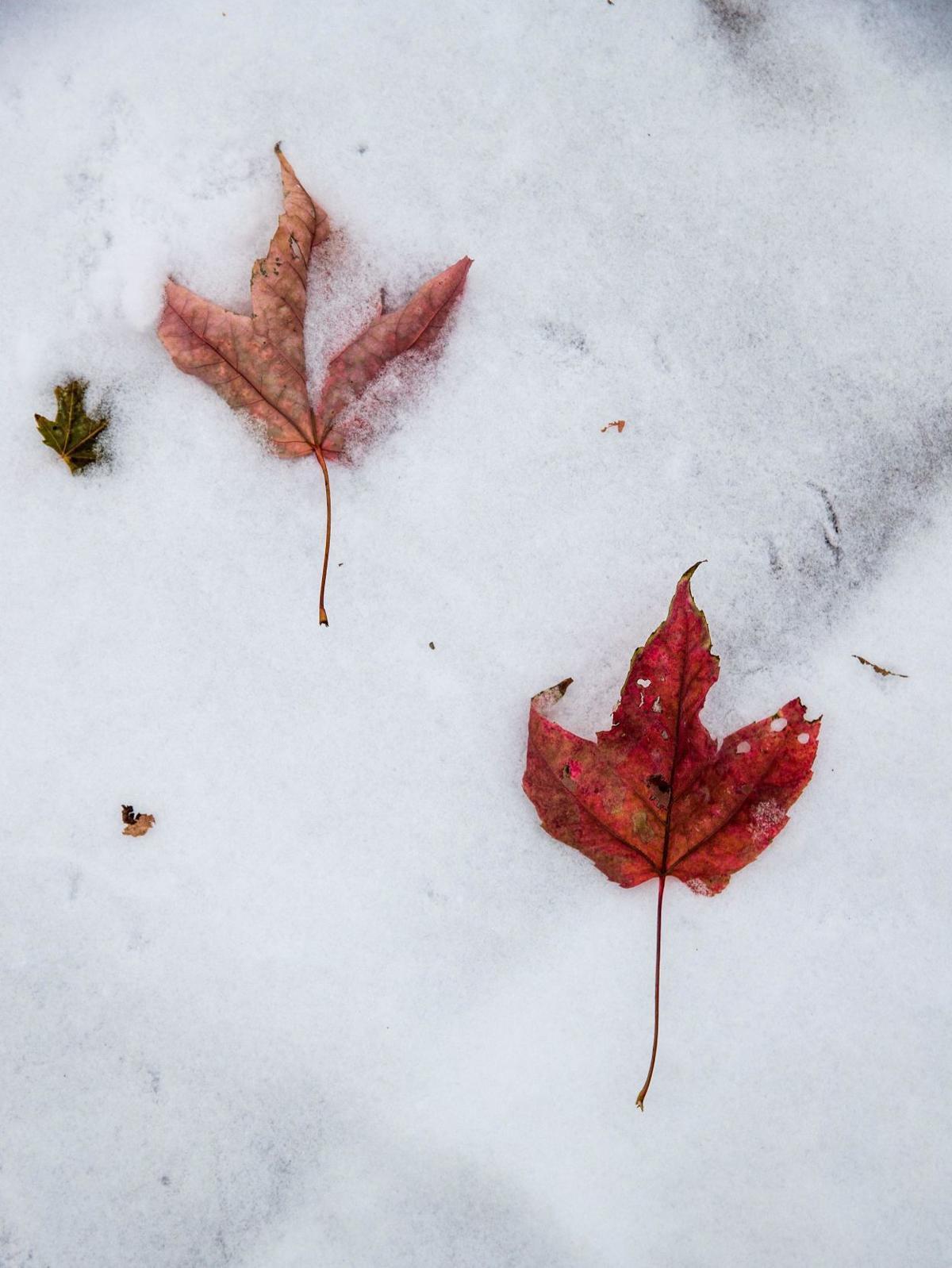 Leaves on snow, 11/11
