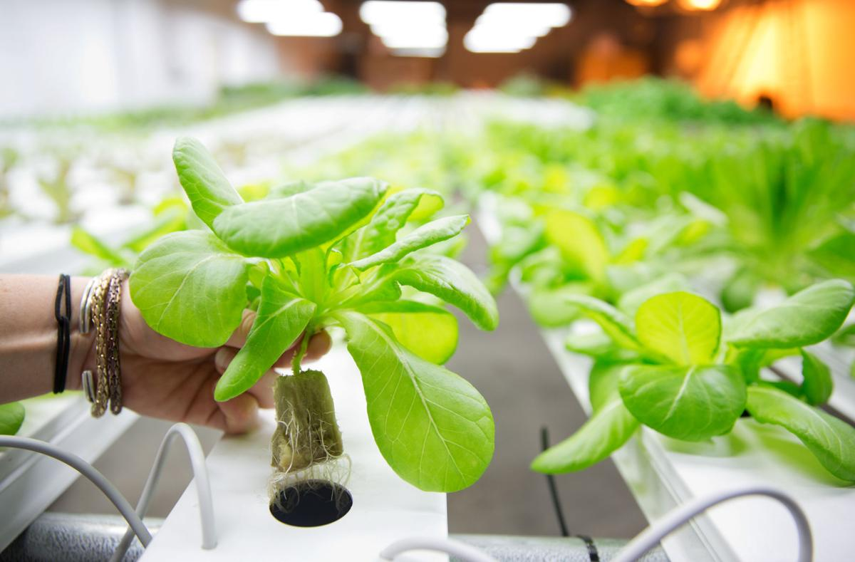 Hydroponic business inside downtown warehouse is feeding Omaha diners