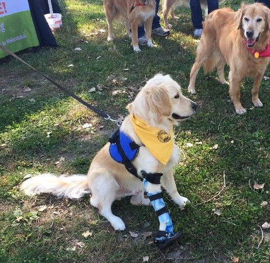 Golden Retrievers Gather In Bellevue For Carnival And 'fun