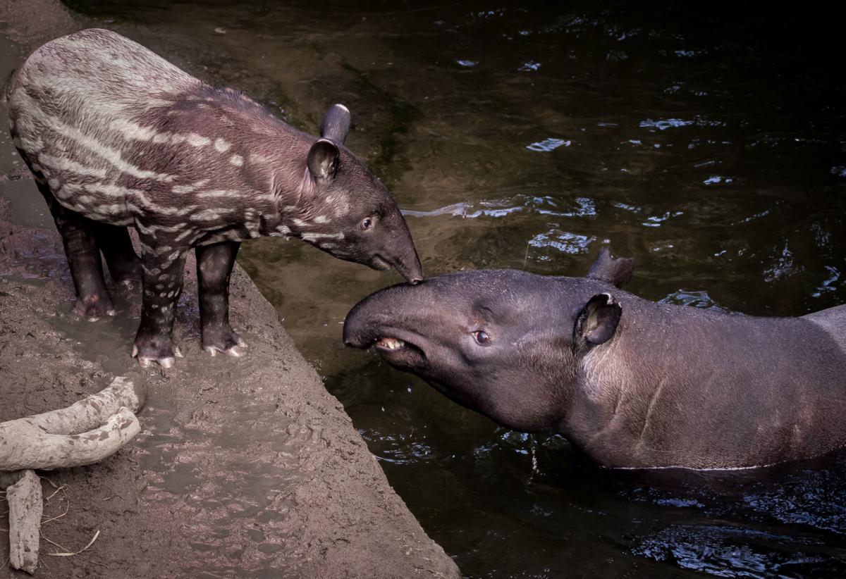 20181121_liv_tapir2