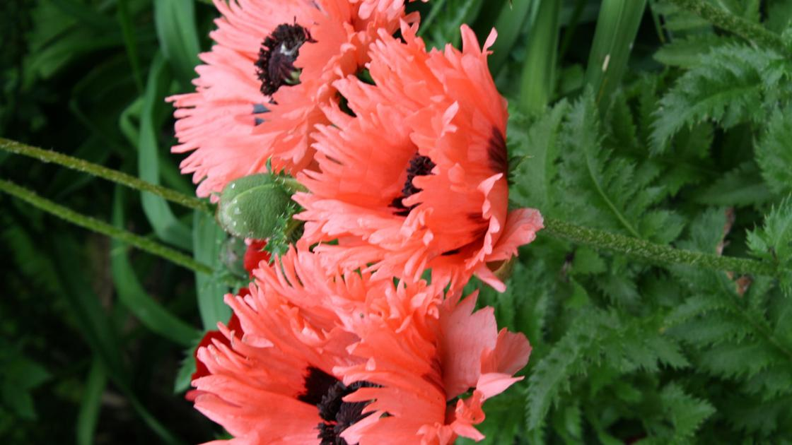 Planning Can Counter Poppies Flaw