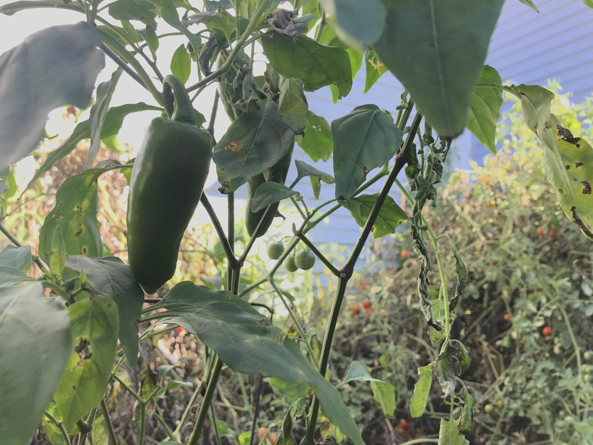 Jalapeno with tomatoes in the background, 10/8