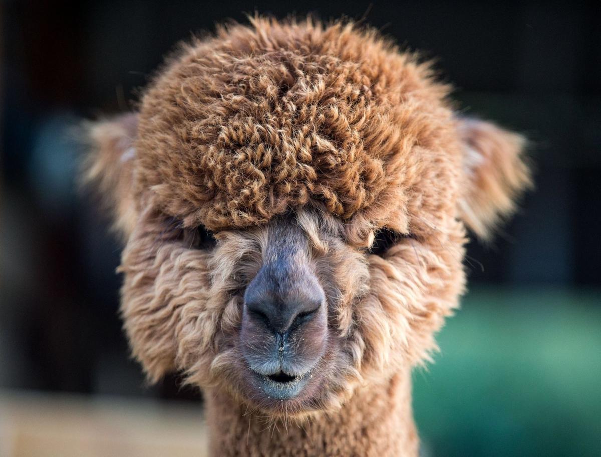 Meet some alpacas