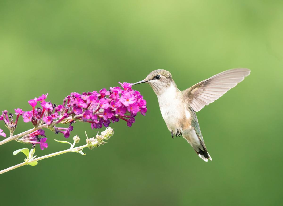 Hummingbird and a butterfly bush
