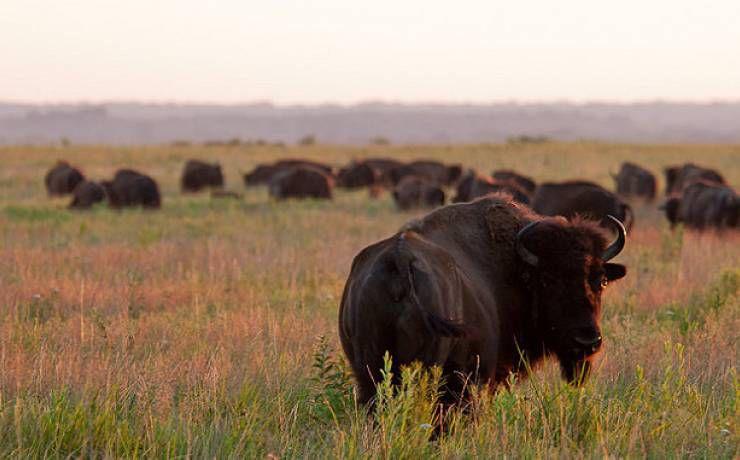 Herd of bison.jpg