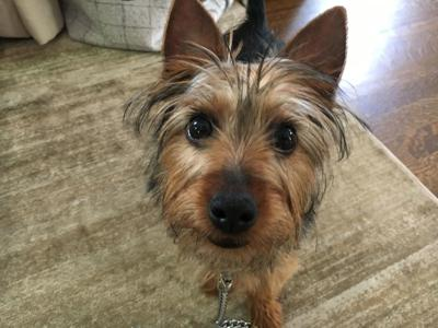Dog Gone Problems Tips For Potty Training A Teacup Yorkie Momaha
