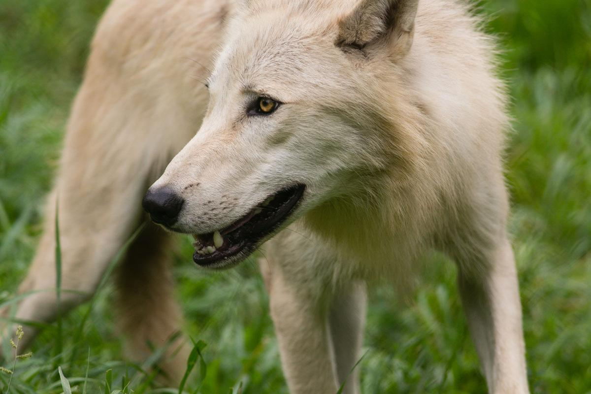 031821-owh-new-wolf