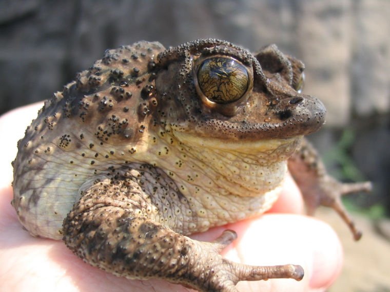 endangered amphibians