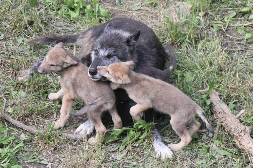 New Wolf Pups At Ashland S Wildlife Safari Park