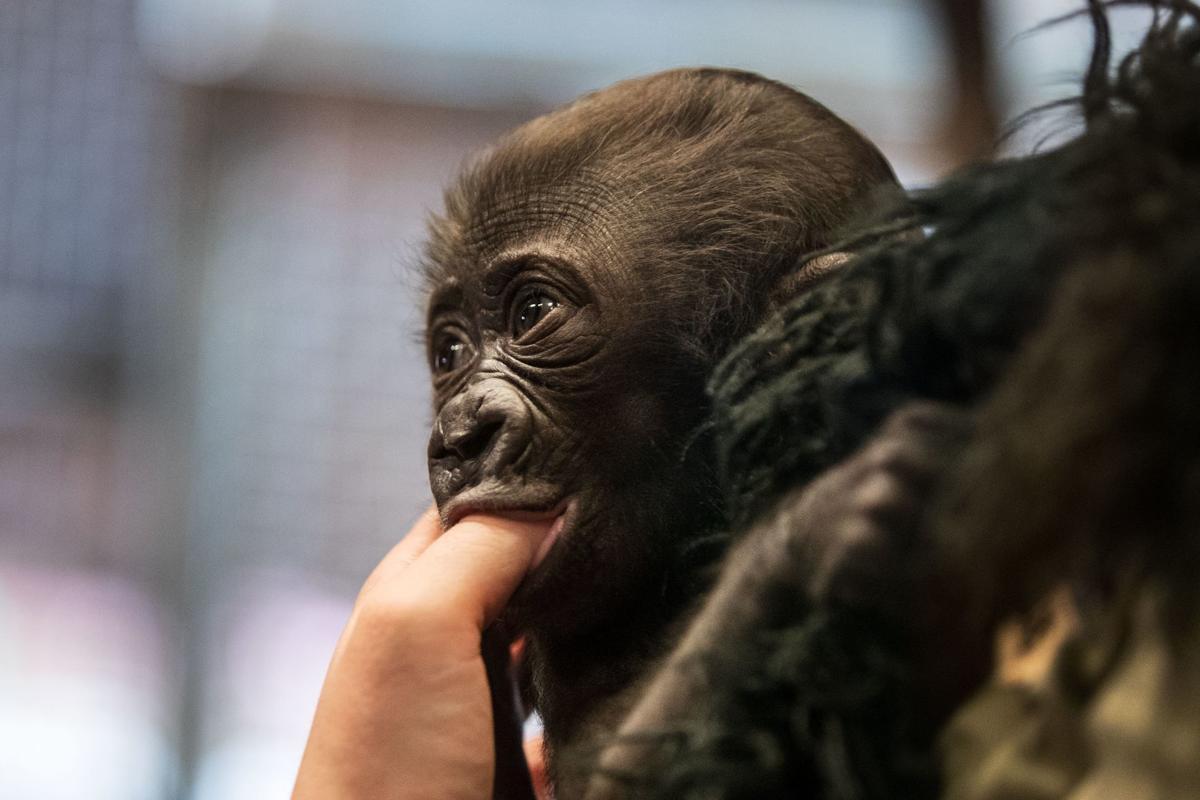 20190601_new_gorilladebut_pic_cm001