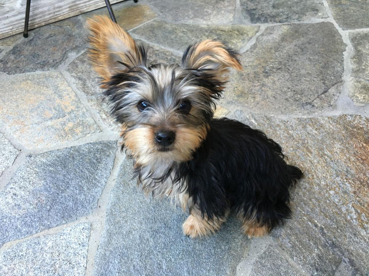 Dog Gone Problems My Yorkie Puppy Is Impossible To Potty Train