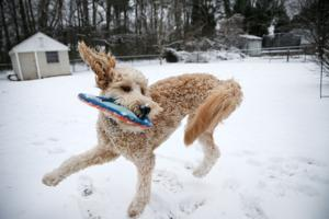 Three-legged goldendoodle will compete in this year's Puppy Bowl
