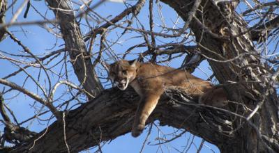 How many mountain lions are in Nebraska? Are they really lions? Can