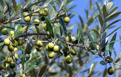 Who knew? Georgia is producing some of the country's best olive oils