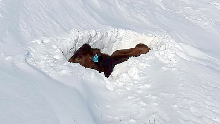 nebraska lost at least 2 200 cattle in october blizzard but toll