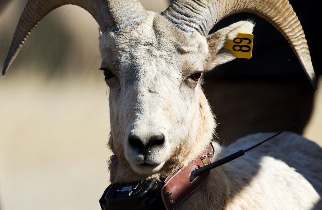 Outdoors notes: Bighorn sheep hikes in Panhandle parks; Walleye tournament planned