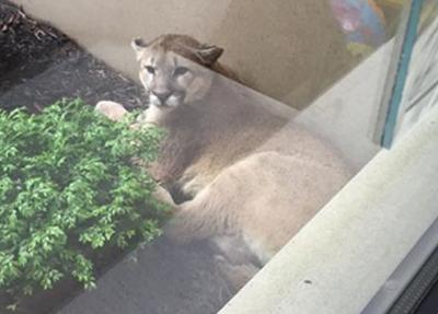 West Omaha man reports seeing a mountain lion on his patio Thursday morning