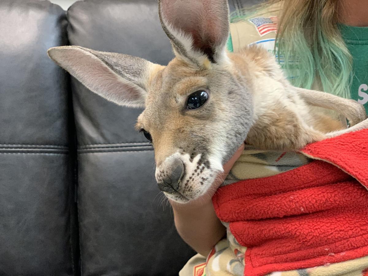 20200119_liv_kangaroo (1)