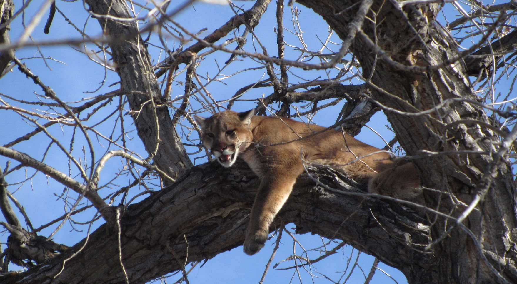 Cougars in nebraska