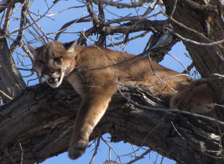 Nebraska mountain lion