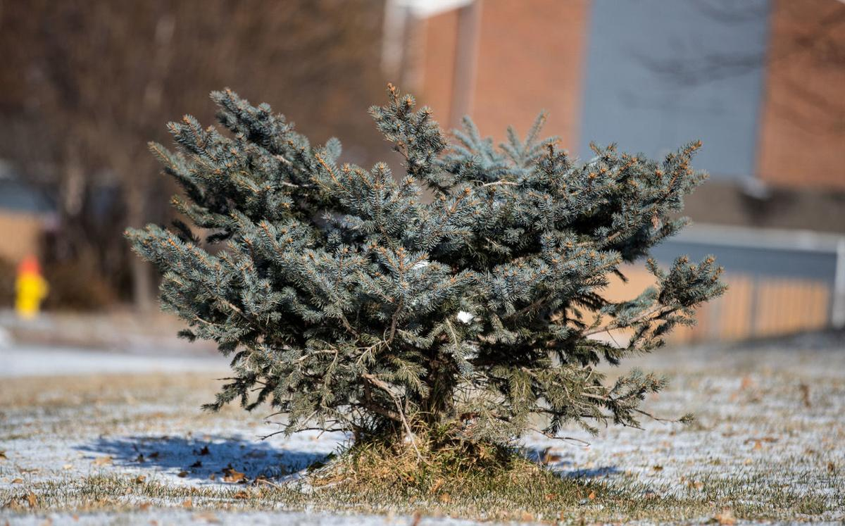Blue spruce lost its top