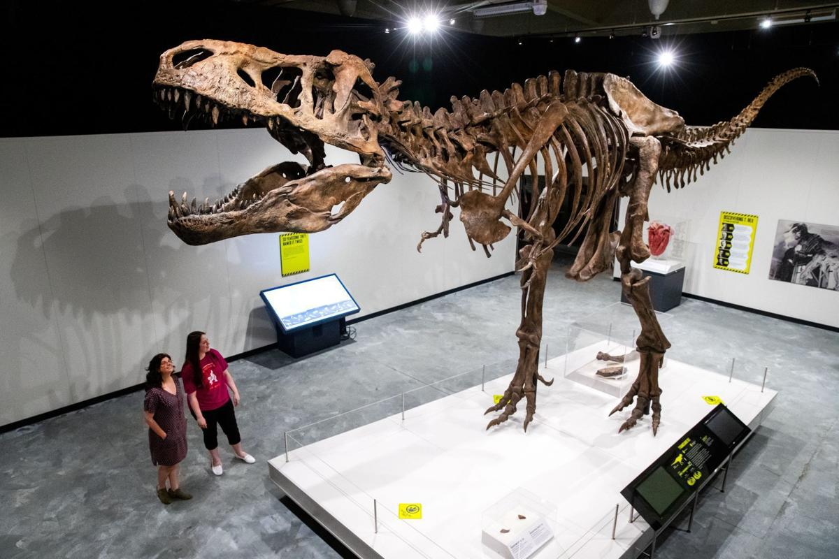 Meet the largest T. rex ever discovered