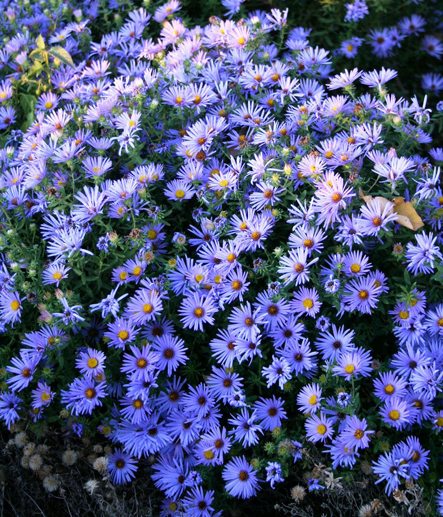 Aster are last blast of bloom in fall garden living omaha aster are last blast of bloom in fall garden izmirmasajfo