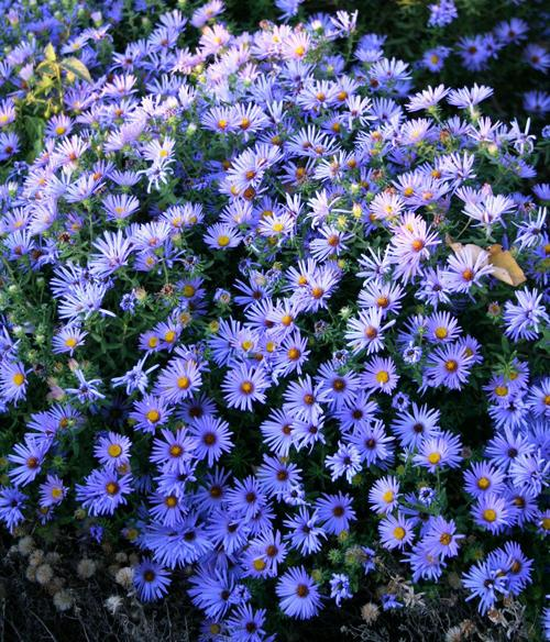 Aster Are Last Blast Of Bloom In Fall Garden Lifestyles Omaha Com