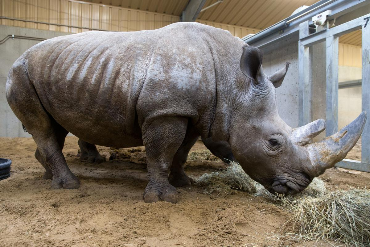 21-year-old female white rhino euthanized at Omaha zoo
