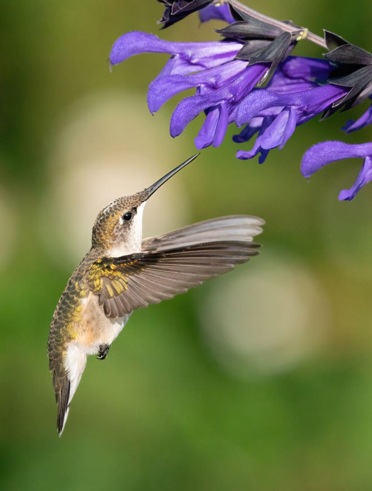 Hummingbirds dazzle backyard birders