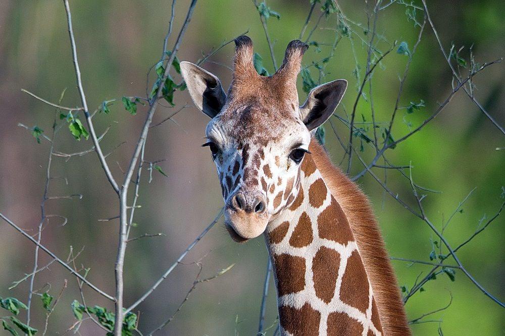 African Grasslands - giraffe
