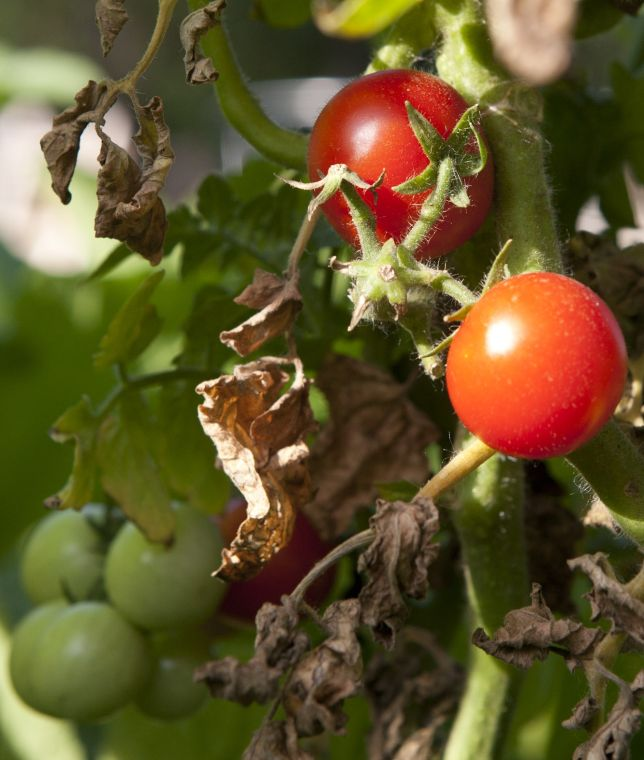 Forecast: Ideal weather next week for tomato ripening