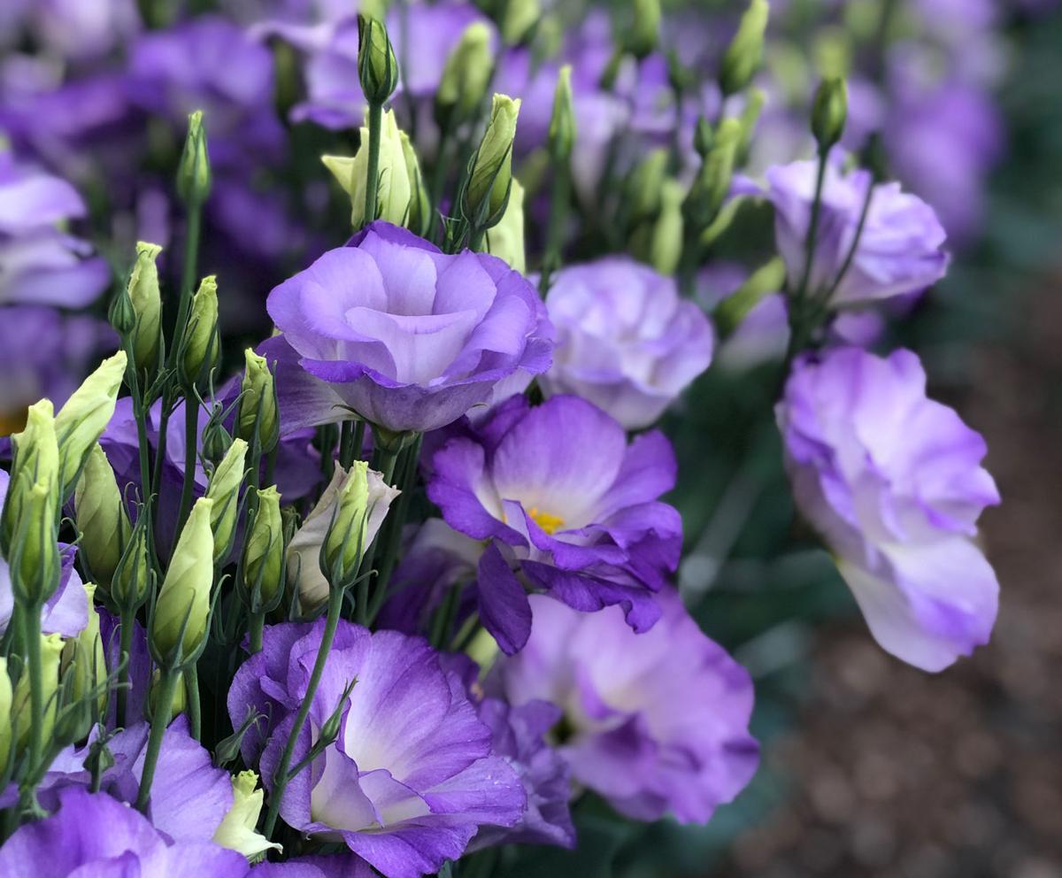 Lisanthus_0176_crop.jpg