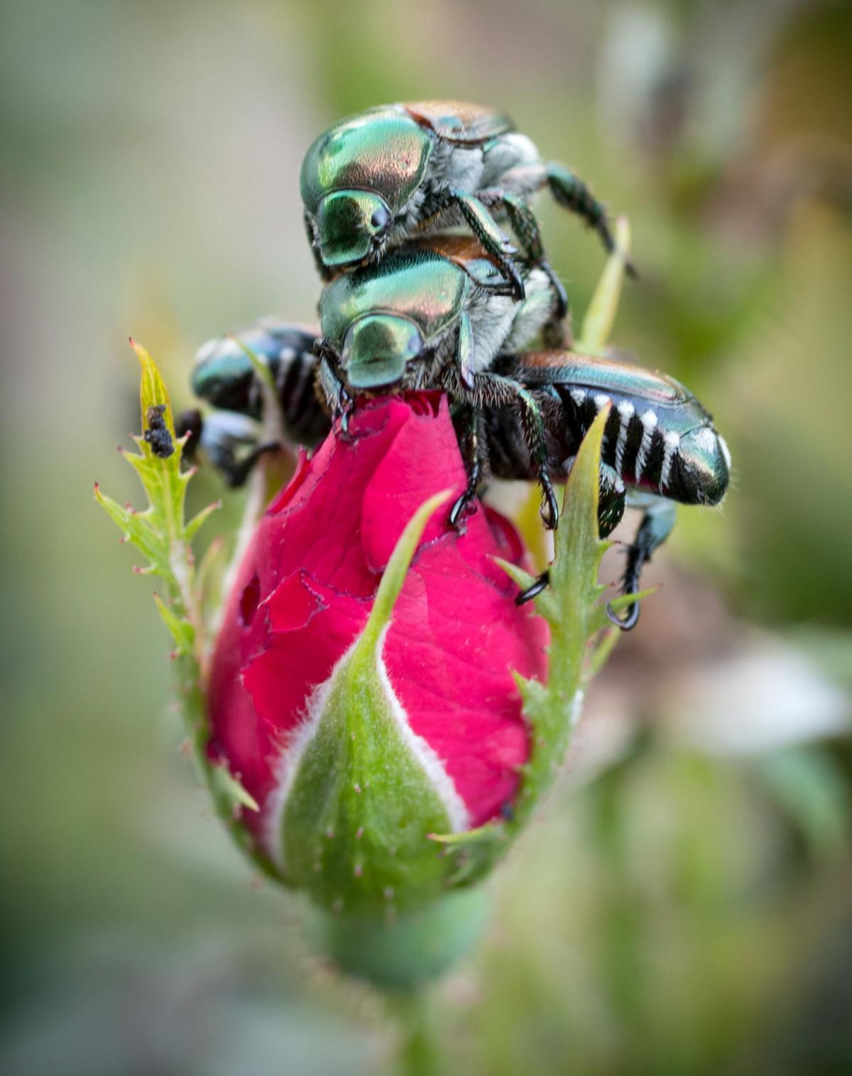 japanese beetle swarms are worse than ever this year and there u0027s