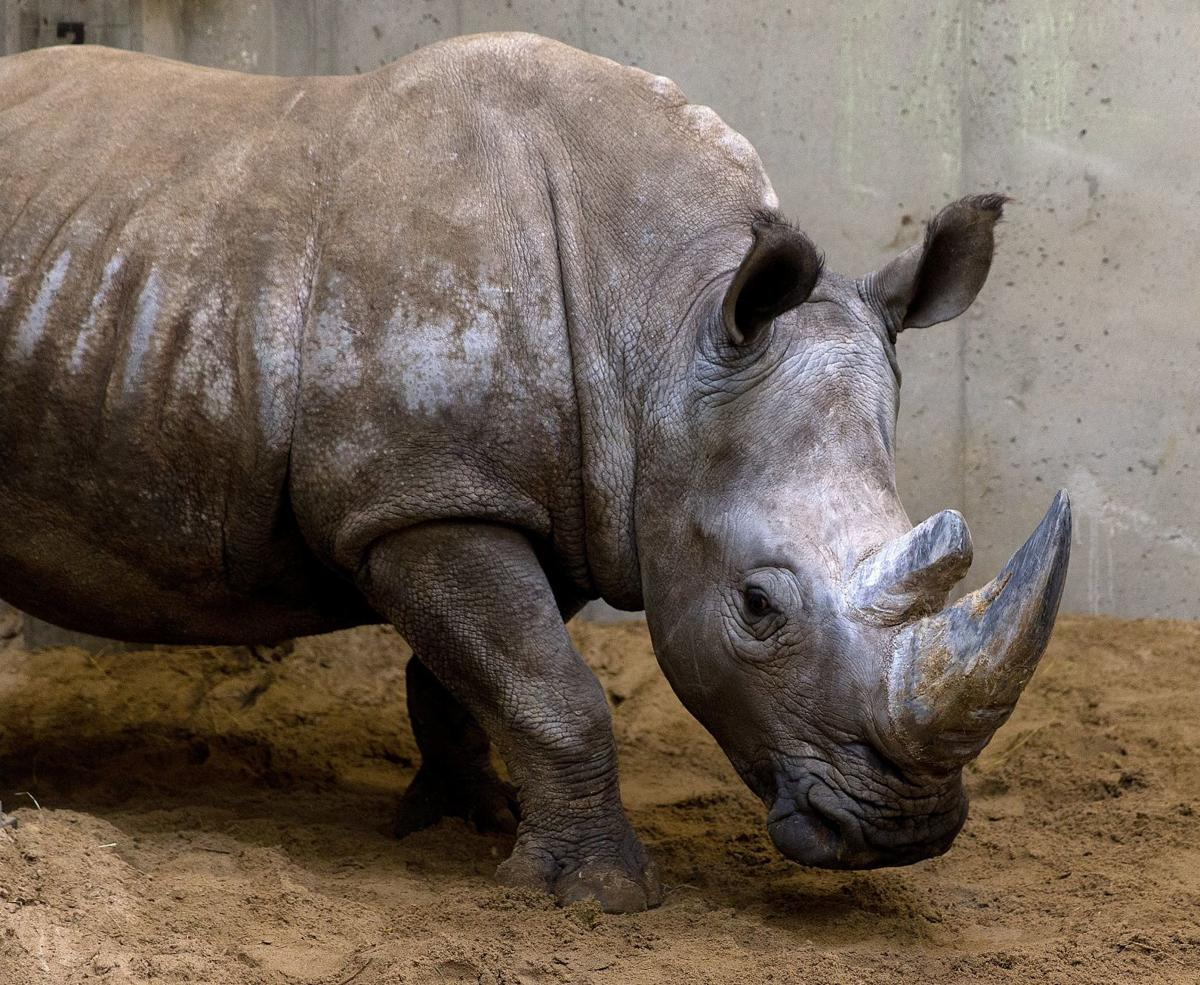 21-year-old white rhino euthanized at Omaha zoo