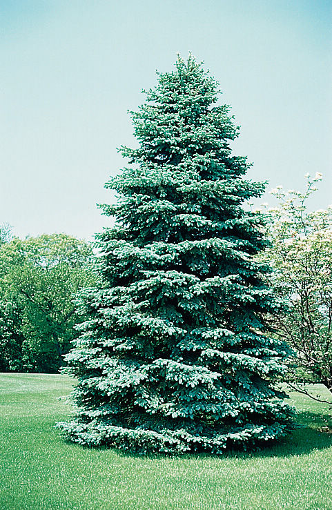 Arbor Day Foundation offers Colorado blue spruce trees to new