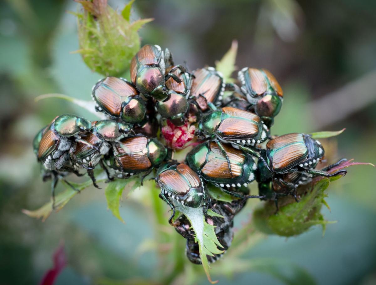 Japanese Beetle Swarms Are Worse Than Ever This Year And