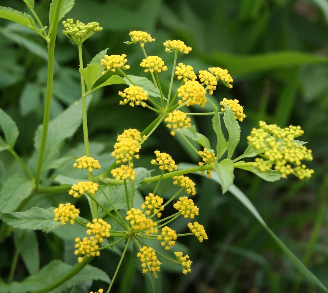 Pollinator wildflower