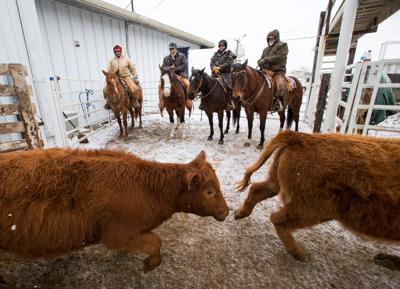 Cattle Nebraska