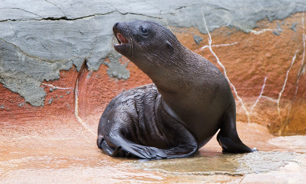 Extremely rare baby sea lions make omaha zoo debut go arts a sea lion pup calls out in the owen sea lion pavilion at the henry doorly zoo aquarium on thursday two sea lion pups were born at the zoo on june publicscrutiny Images