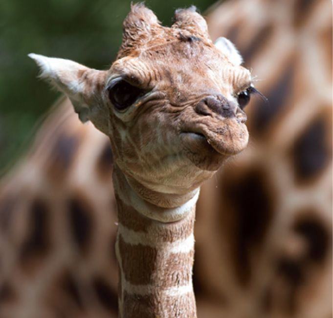 A Baby Giraffe Is The First Arrival At The Lincoln Children S Zoo S