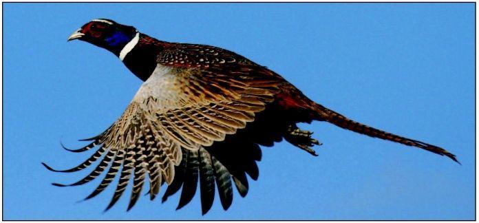 Plan's aim: Boost, sustain pheasants