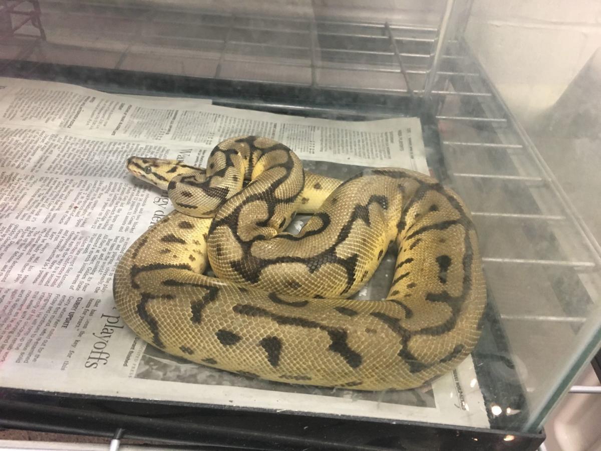 Stray python
