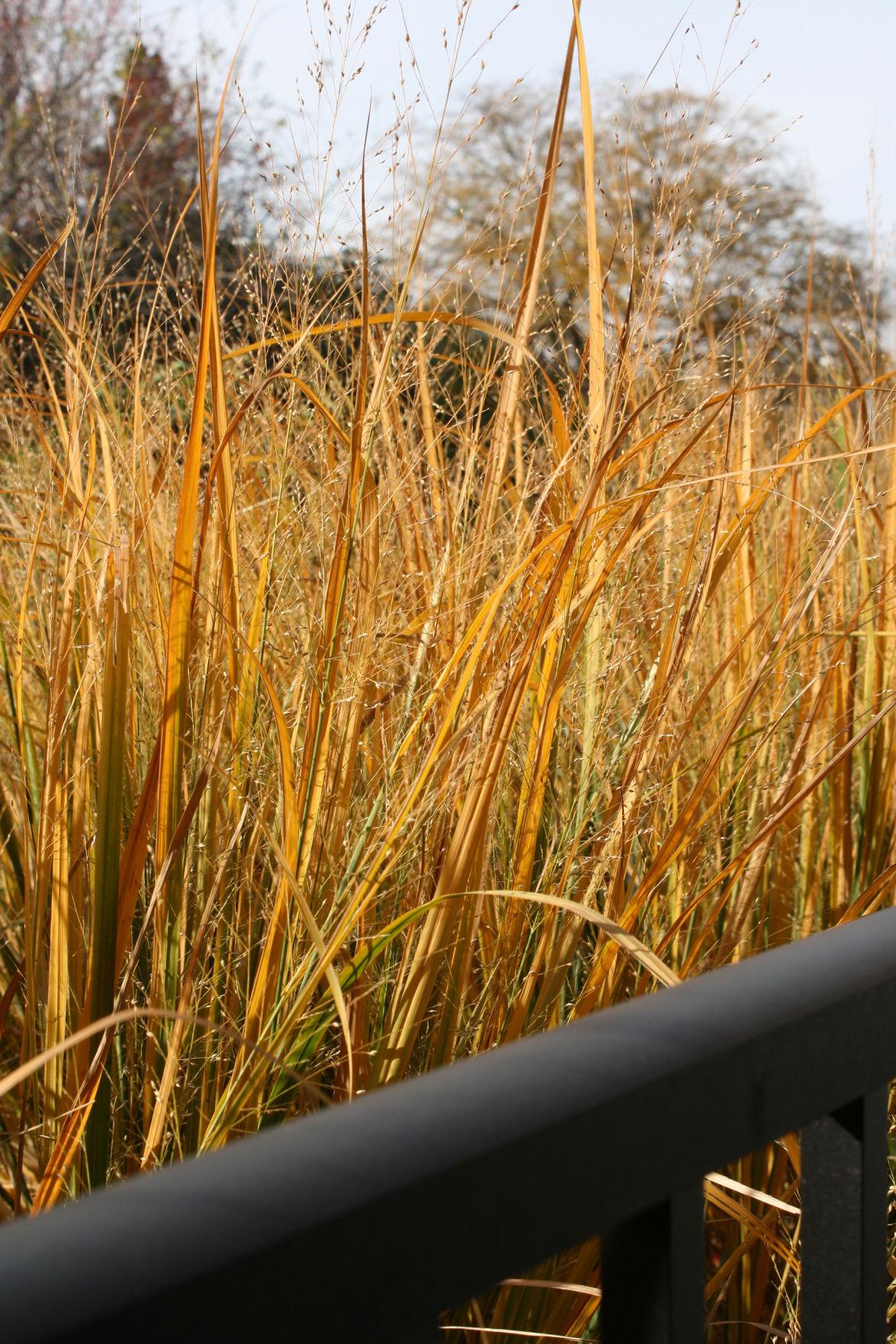 Riggenbach: Ornamental switchgrass star of the autumn garden ...