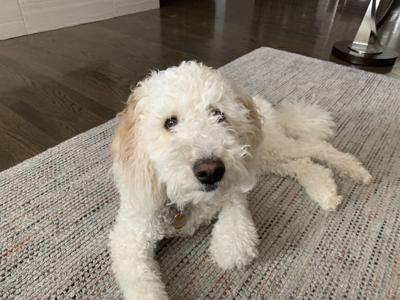 Dog Gone Problems 18 Month Old Goldendoodle Doesnt Respect